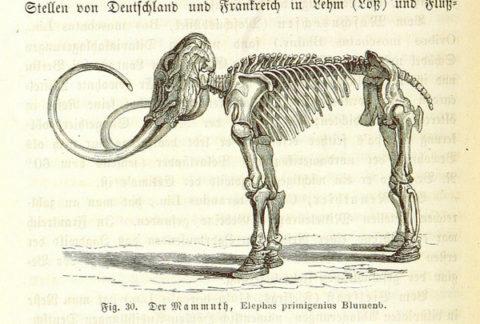 mammoth-skeleton_large.jpg