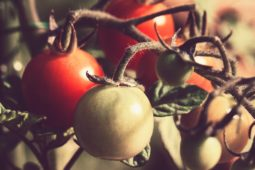 If You Can Only Grow One Thing This Summer, Make it Tomatoes. Or…