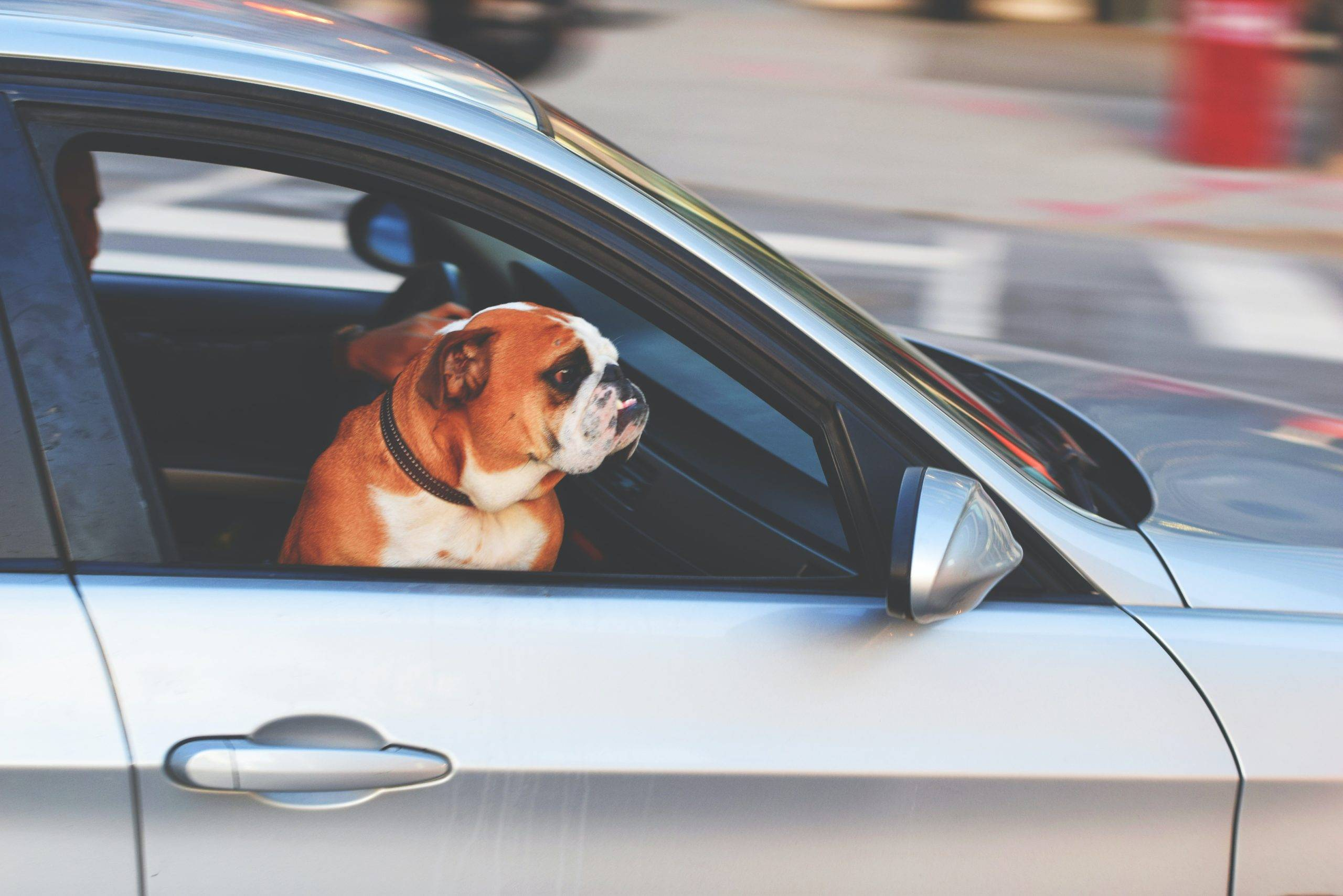 Dog staring out the window of a running car