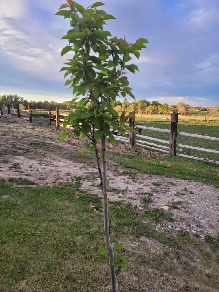 pear tree zone 3
