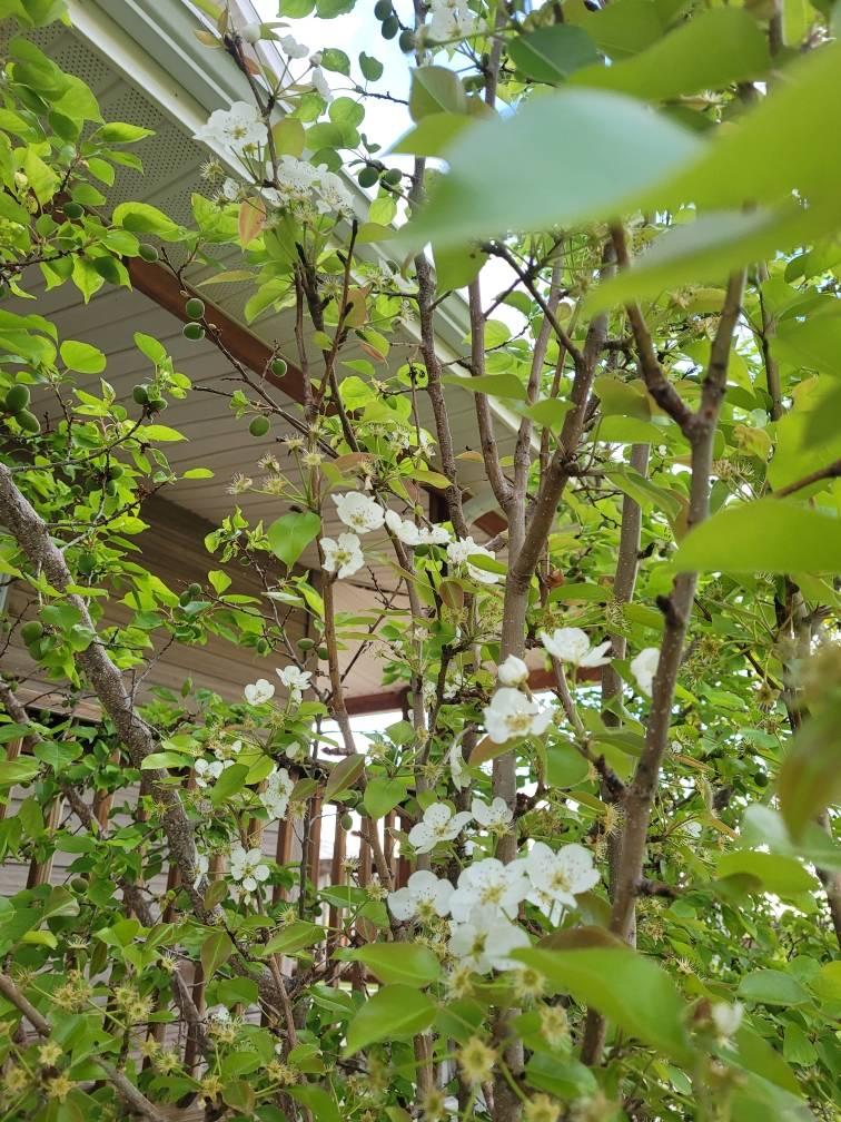 pear tree zone three fruit