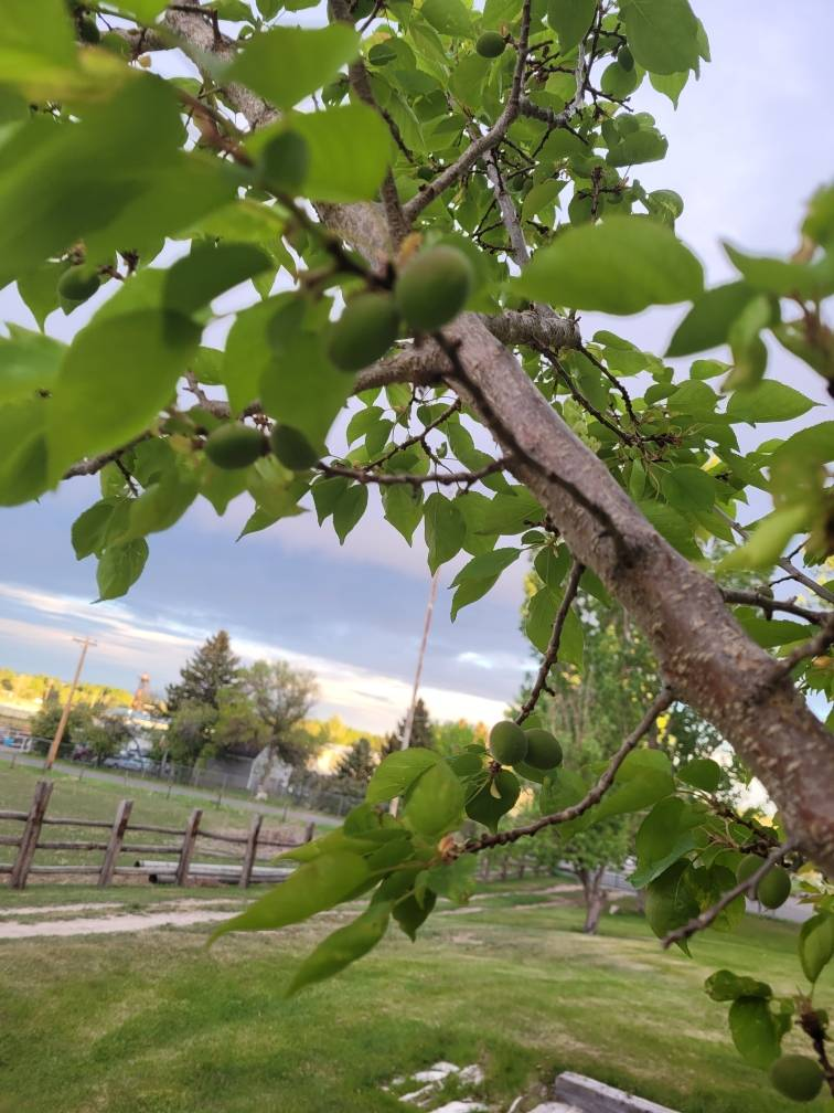 apricots zone three fruit tree