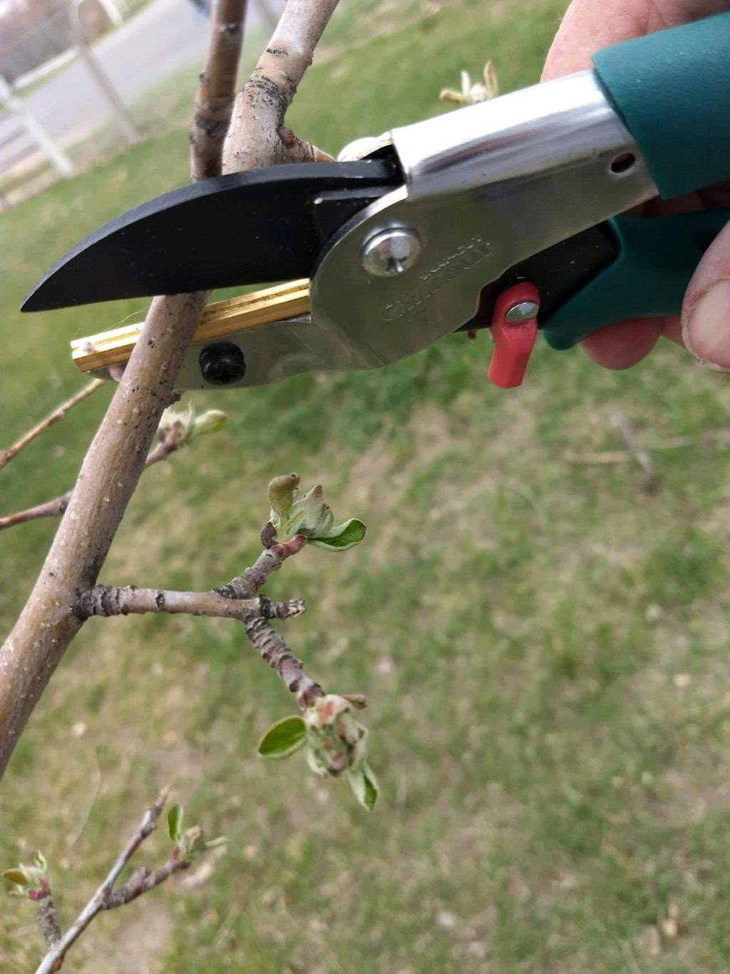 cutting a branch with garden shears